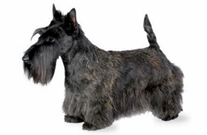 Scottish Terrier300