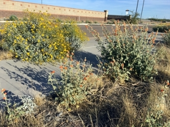 blooming desert403