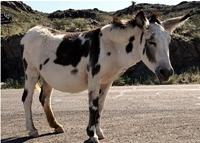 burro200