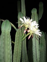 night flower250