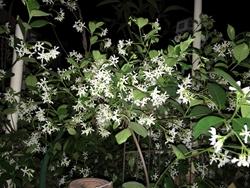 white blossoms250