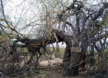 Hanging Tree350