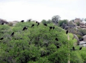 Turkey vultures333