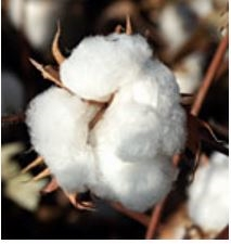cotton225