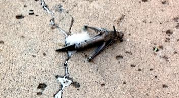 grasshopper352