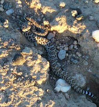 rattlesnake365