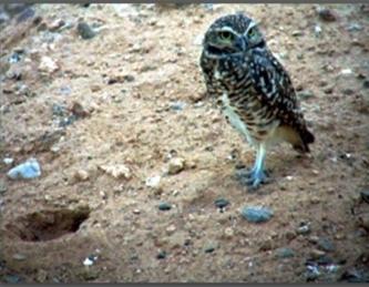 owl333